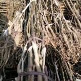 1-6公分核桃树