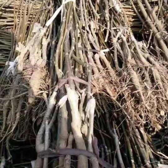 1-6公分核桃樹