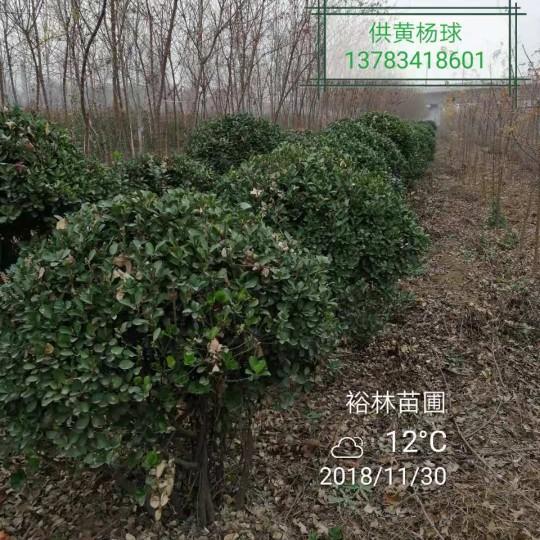 郑州巩义市裕林苗圃供大80-150公分叶黄杨球