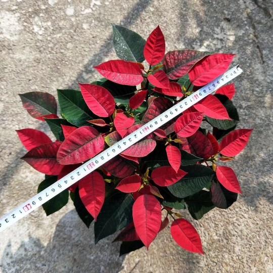 一品红高度30-40cm  一片红批发