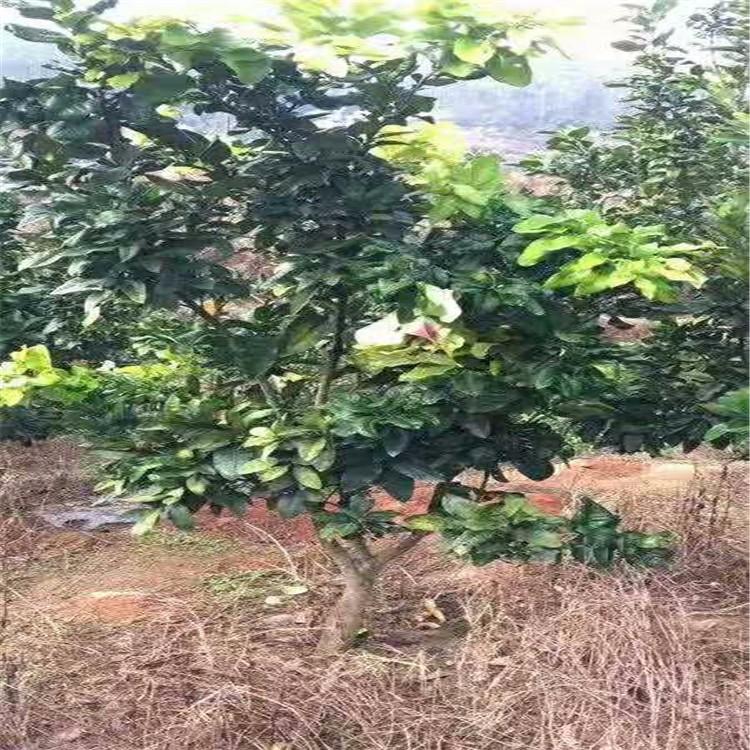 平和柚子树华安坪山柚子树