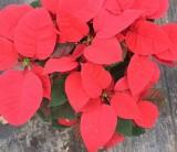 高30cm一品红盆苗(圣诞红 圣诞花)