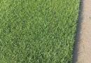 果岭草 草坪