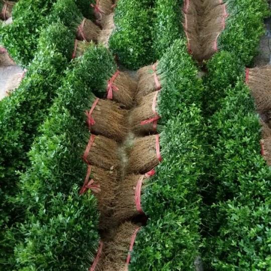 廣西枳殼芽苗-枳殼苗 枳殼芽苗 構桔苗