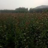 红南果梨苗