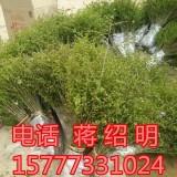 铁篱笆刺苗 铁篱笆刺 马甲子刺苗10~40高