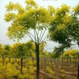 黄金槐米径1.5~3公分 40~300元