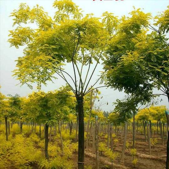 黃金槐米徑1.5~3公分 40~300元
