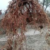 猕猴桃两年实生苗