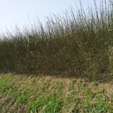 枸橘苗枳壳苗篱笆苗铁篱寨苗围栏围墙苗