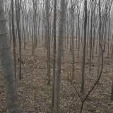 青竹复叶槭