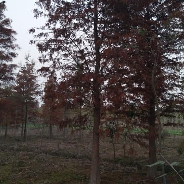 12落羽杉