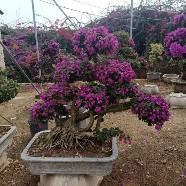 紫色三角梅矮桩景