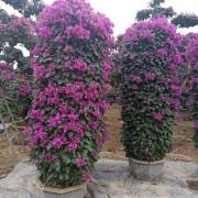 漳州紫色三角梅2米柱
