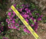 紫色三角梅球50-60ⅹ50-60