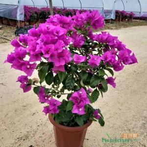 高40-60cm云南紫三角梅