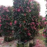 红花三角梅屏风2米高