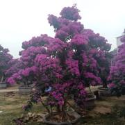 紫色三角梅桩景高2.5-3米