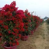 四季红三角梅高2米,头径5-6公分,冠1.5米