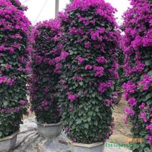 高2-3米紫色三角梅柱