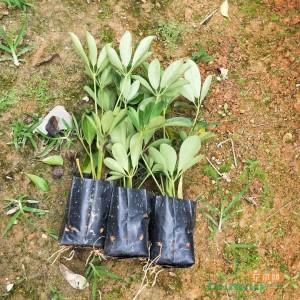 鸭脚木高度20-25价格0.55