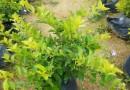 黄金叶高度40-50价格3.7