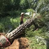 布迪椰子杆高200地径50冠400价1350