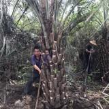 布迪椰子杆高150地径45冠400价格900