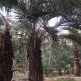 布迪椰子(冻子椰子)杆高250地径50冠450价格1750