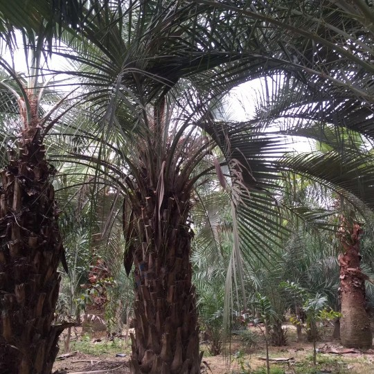 布迪椰子(凍子椰子)桿高250地徑50冠450價格1750