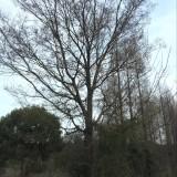 湖北黄连木