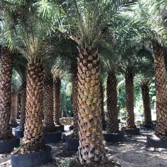 福建基地直銷中東海棗、銀海棗桿高4米價格