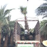 老人葵 华棕杆高3.5米价格630元