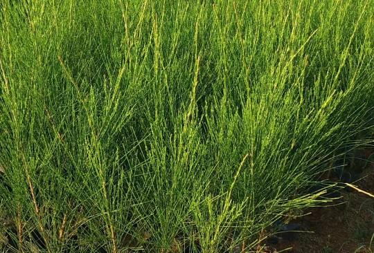 木麻黃高80-90公分價格
