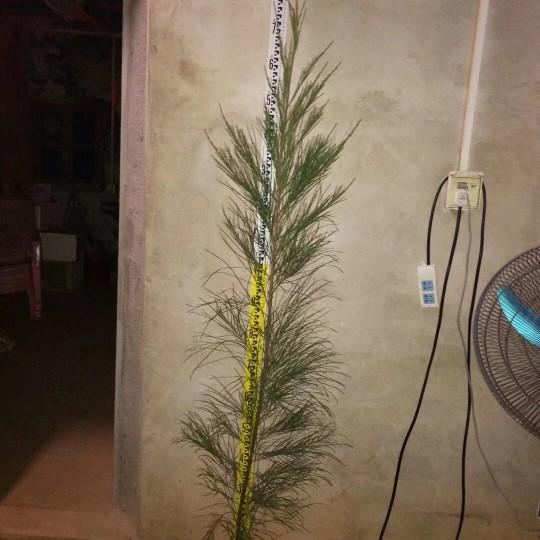 福建基地直銷木麻黃50-1.2米高  木麻黃價格