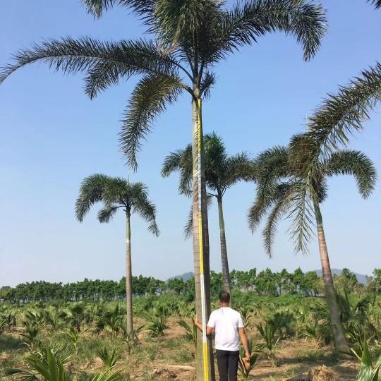 狐尾椰子高度600地徑50冠350價格1100