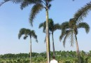 狐尾椰子高度600地径50冠350价格1100