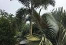 狐尾椰子杆高300地径35冠350价格350