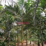 福建漳州杆高2-7米假槟榔基地直销