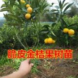 金桔苗 脆皮金桔树苗
