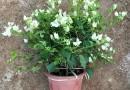 高度40公分白花三角梅