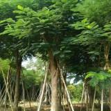 凤凰木米径30公分
