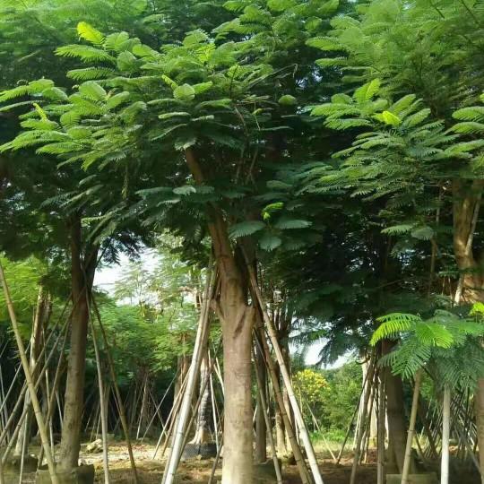 米徑30公分鳳凰木