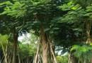 米径30公分凤凰木