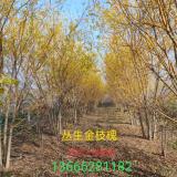 丛生黄金槐