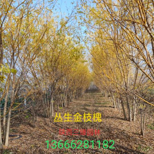 叢生黃金槐