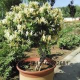 金银花盆景树