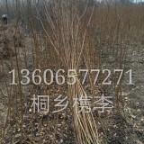 供应0.8优质桐乡槜李小苗