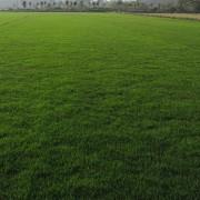 草坪,百慕大