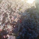 20公分高红花继木